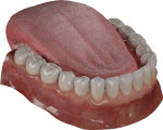 Teeth Are Among The Most Distinctive Features Of Mammal - Free Tooth 3d Model, HD Png Download