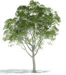 Realistic Tree Png Image Background - Trees For Rendering In Photoshop, Transparent Png
