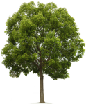 Maple Tree Png - High Quality Tree Png, Transparent Png