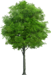 Laminated Poster Nature Trunk Png Wood Tree Forest - Neem Tree Png, Transparent Png