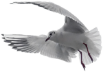 Pigeon, White, Bird, Dove, Nature, Peace, Symbol - Holy Spirit, HD Png Download