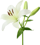 Lily Transparent Floral - White Lily Flower, HD Png Download