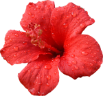 Hibiscus Transparent Psd - Transparent Red Hibiscus Flower, HD Png Download
