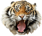 Angry Tiger Transparent Image Animal Graphic Image - Tiger Transparent, HD Png Download