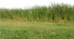 Grass, Grass No Background, Nature, Green, Plant - Nature Png Image For Background, Transparent Png