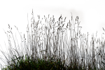 Gallery Tall Grass - Grass Black And White Png, Transparent Png