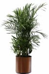 Palm House Plants Impressive Seifrizeii Palm Hawaiian - Transparent Indoor Plants Png, Png Download