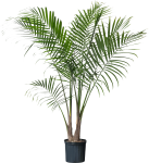 Palm Plant , Png Download - Potted Palm Tree, Transparent Png