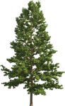Pine Realistic Tree Png Clip Art - Pine Tree Png Free, Transparent Png