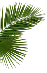 Hd Palms Png - Palm Tree Leaves Png Transparent, Png Download