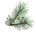 Transparent Pine Tree Leaves, HD Png Download
