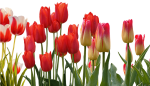 Spring Flowers For Your Wedding - Red Transparent Tulip Flower, HD Png Download